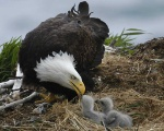 bald-eagles-with-baby