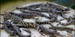 criadero-de-cocodrilos