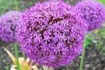 1200px-PurpleBallFlower