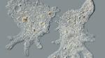 nombre-cientifico-ameba-naegleria-fowleri_LPRIMA20160927_0134_34