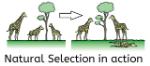 CS4K-Natural-Selection-Giraffes