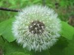 250px-Dandelion_clock_on_leaves