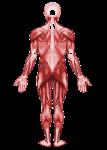 2000px-Muscular_system-back.svg-214x300