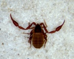 pseudoscorpion1