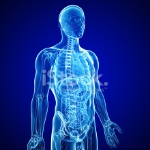 21657462-anatomy-of-human-body-in-blue-x-ray-form
