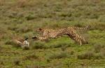Cheetah-Hunting (1)