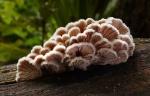 schizophyllum_commune (1)