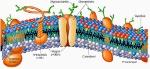 Membrana-plasmatica-1