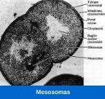 funcion-de-mesosomas