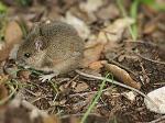 полска мишка