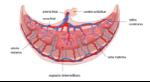 placenta-y-espacio-intervelloso