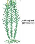 gametophyte
