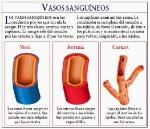 Arteria-Vena-Capilar