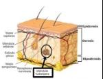glandulas capilares