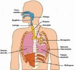 img_partes_y_funciones_del_sistema_respiratorio_descubre_cuales_son_2280_600
