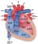 anatomia_del_corazon_texas_heart_institute