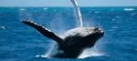 ballenas-jorobadas-turismo-hotel-el-faro-escandinavo-atractivo-turistico-costas-manabi-ecuador-615x275