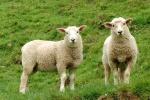 ovejas-editada