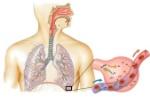 estructuras_respiratorias - copia