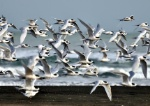 1200454Whitefronted_tern_x2800