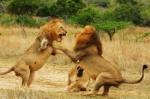 lions-fighting-1474944148373