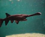 peixe-espatula