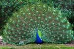 pavo-azul-real-aves-ornamentais-mg-rj-es-D_NQ_NP_136311-MLB20537712039_012016-F