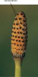 Sporangiosphores