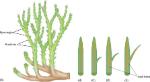 evolution of megaphylls