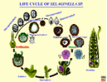 IL043_685mSelaginellaLifeCycle_eng