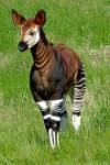 Okapia_johnstoni_-Marwell_Wildlife,_Hampshire,_England-8a