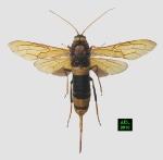 Siricidae