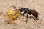 Pompilidae (pompilus sp)
