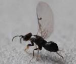 Agaonidae femelle
