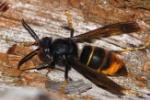 Vespinae (Vespa_Velutina_nigrithorax)