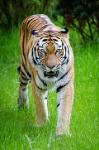 240px-Siberian_Tiger_(29250157550)
