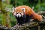 Red_Panda_(25193861686)