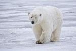 250px-Polar_Bear_-_Alaska