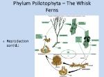 Phylum+Psilotophyta+–+The+Whisk+Ferns