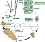 3309_413_617-lycopodium-gametophyte