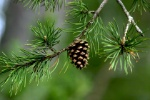 conifers-3951