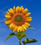 1200px-Sunflower_sky_backdrop