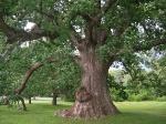 White_Oak_Tree_West_Hartford_CT_-_June_17_2013