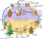 conifers life