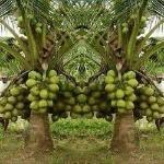 coconut-plant-250x250