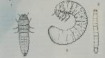larve coléo