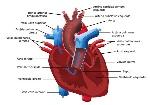 539597b590bc6-sistema-cardiovascular-large