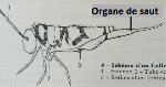 organe saut