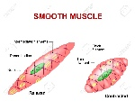 56712527-smooth-muscle-tissue-anatomy-of-a-relaxed-and-contracted-smooth-muscle-cell