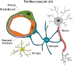 Diagram-of-the-neurovascular-unit-The-neurovascular-unit-represents-an-interactive